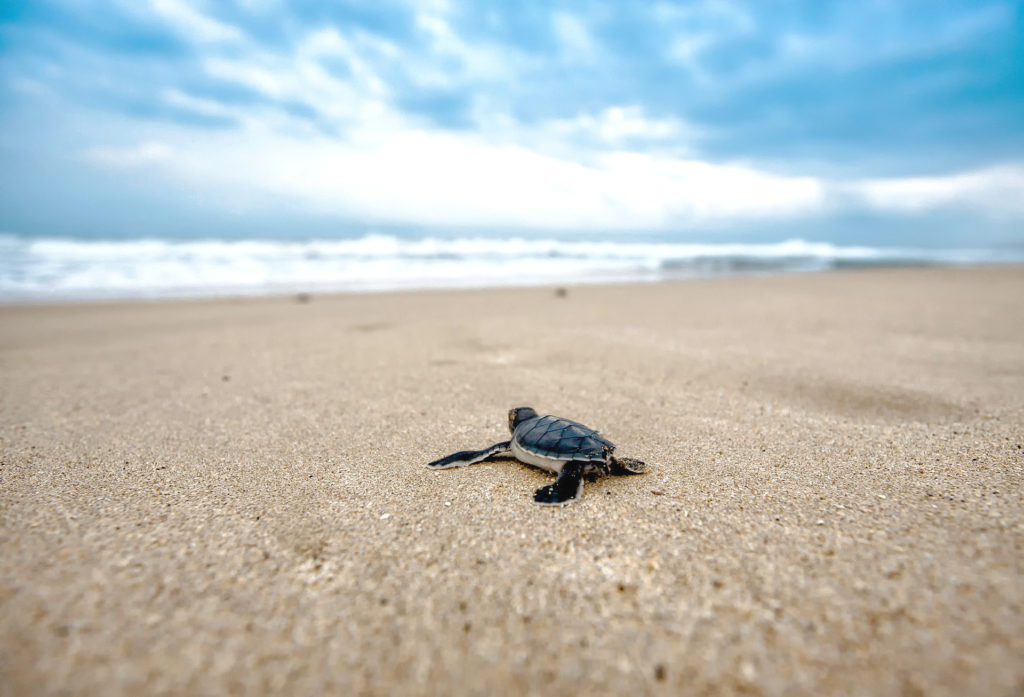 Baby sea turtle in Tortugero National Park Costa Rica