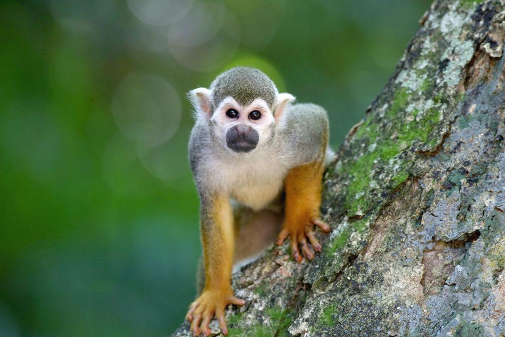 Squirrel monkey in Manuel Antonio National Park Costa Rica