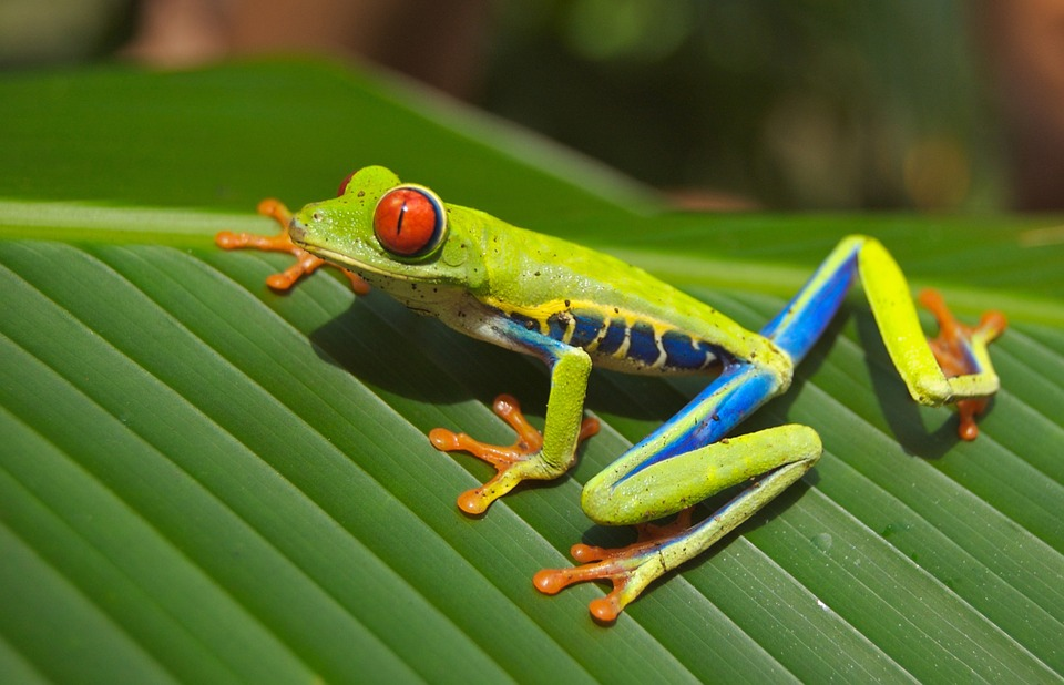 Monteverde Cloud Forest is a great place to see frogs, snacks & other amphibians in Costa Rica.
