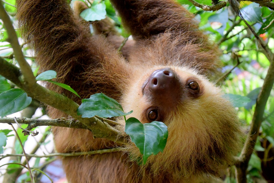 See wild sloths climbing through Costa Rica's rainforests.