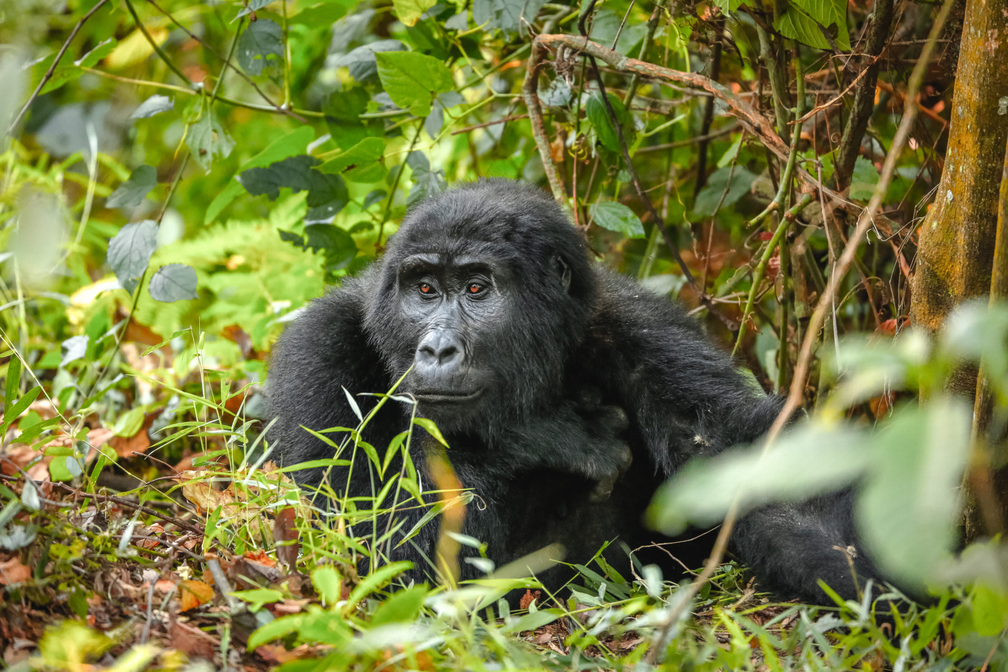 Adult mountain gorilla relaxing in Bwindi Impenetrable Forest