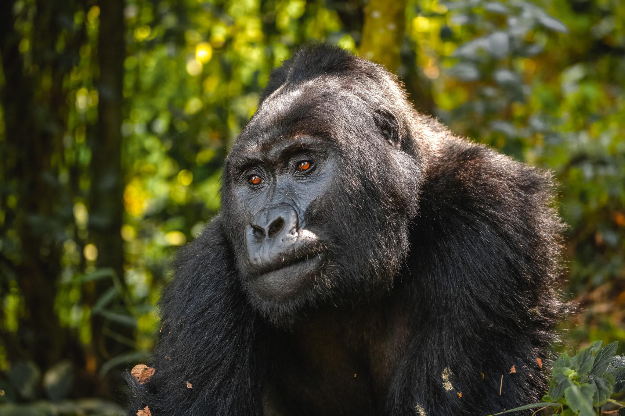 Silverback mountain gorilla wakes from a nap.