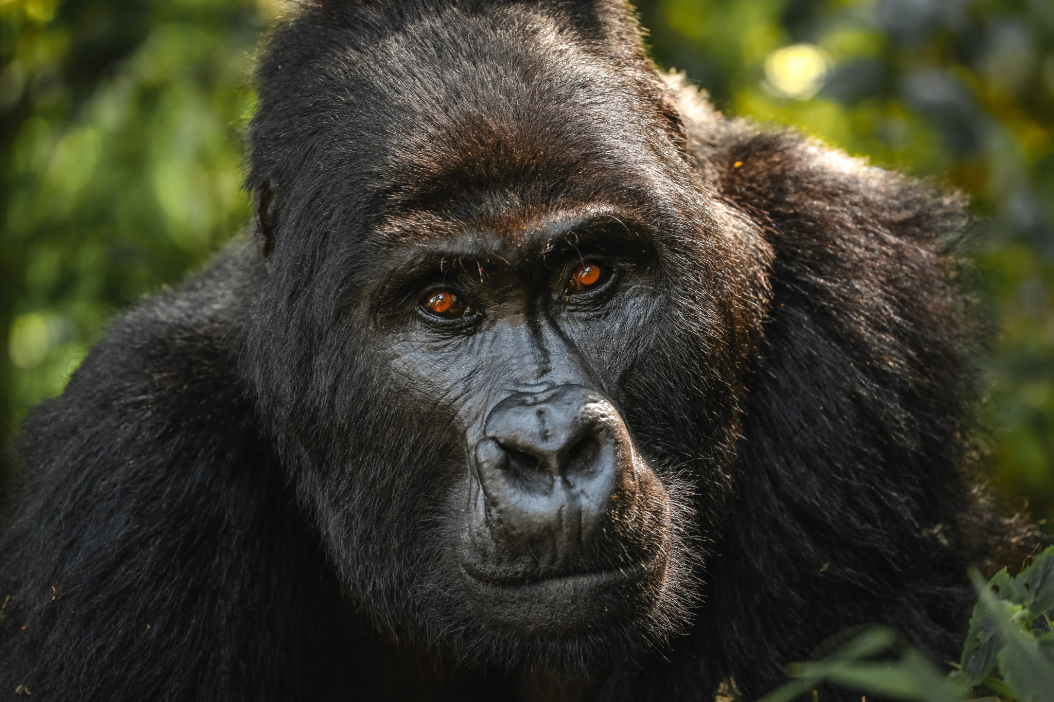 Mountain Gorilla Stares At Camera