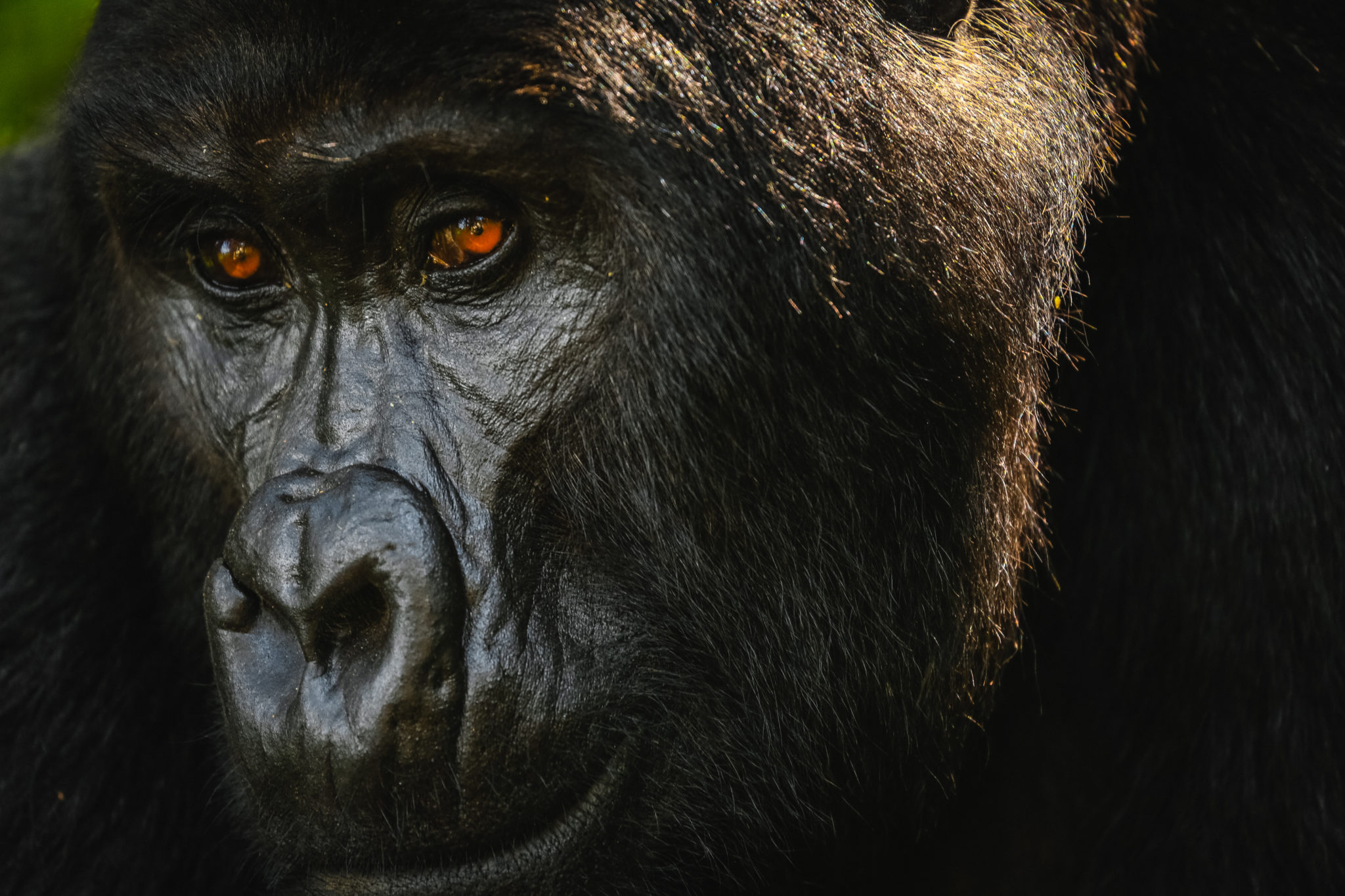 Close up of silverback mountain gorilla face