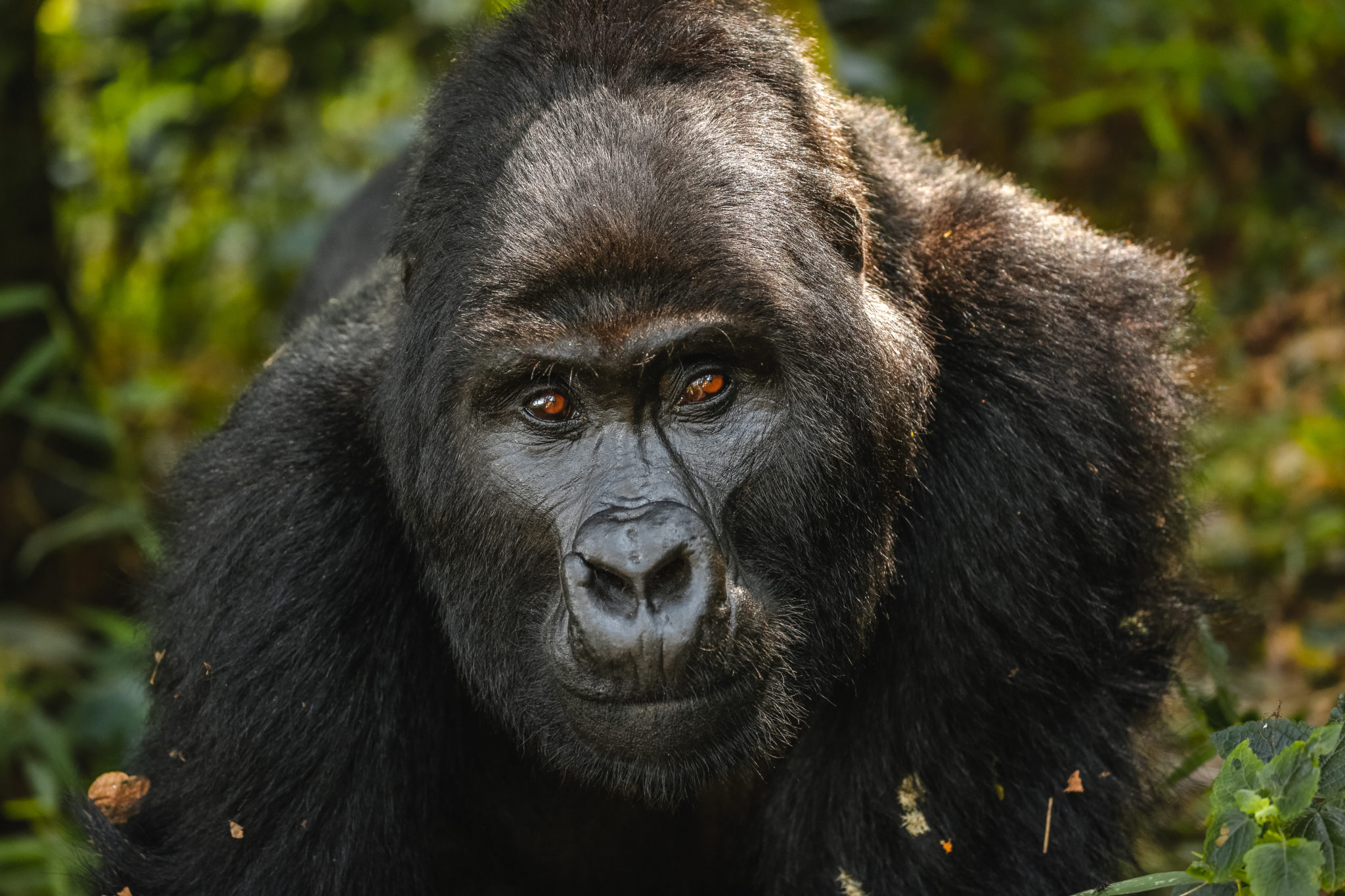 Top Things To Do In Uganda - GORILLA TREKKING IN BWINDI IMPENETRABLE FOREST