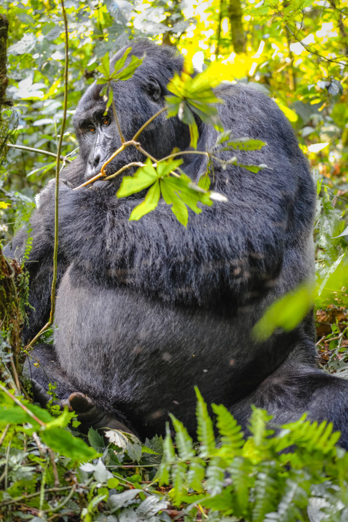 Large Silverback Mountain Gorilla Eating