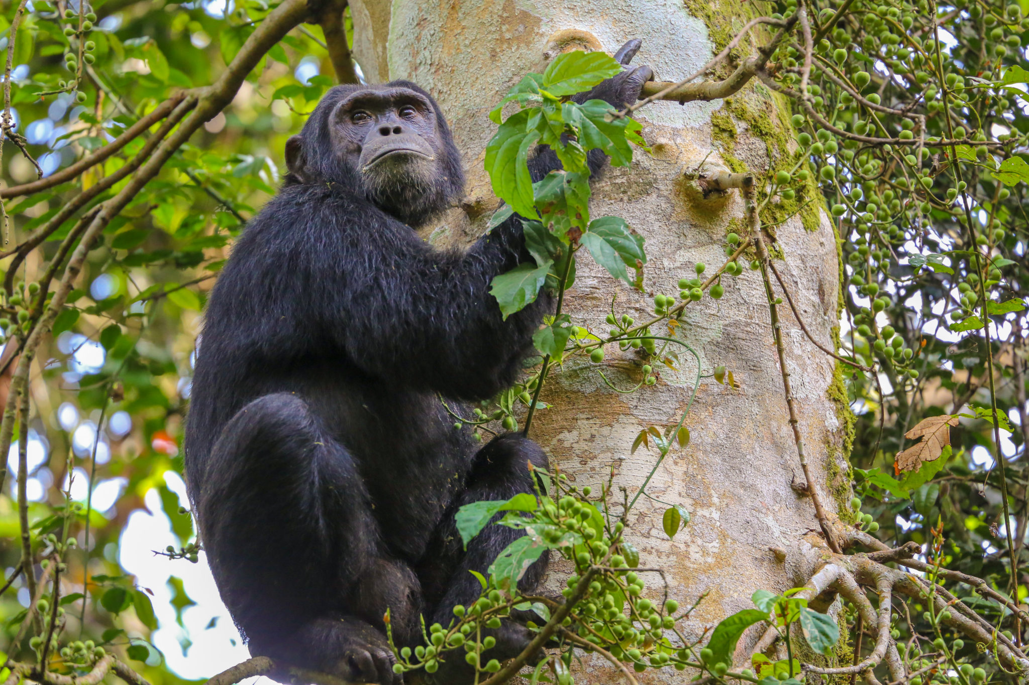 Top Thing To Do In Uganda - Chimpanzee tracking in Kibale National Park