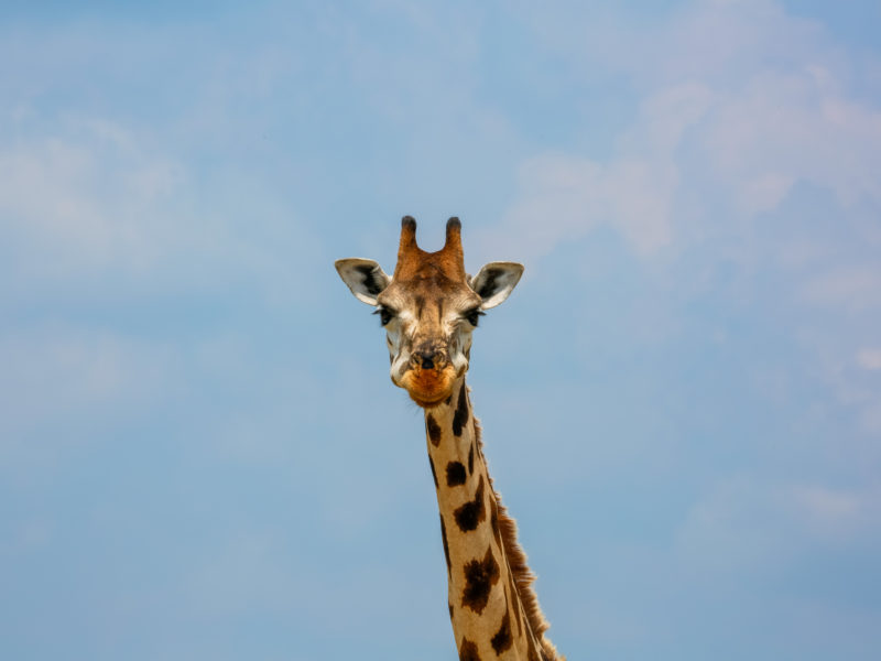 Giraffe in Murchison Falls National Park.