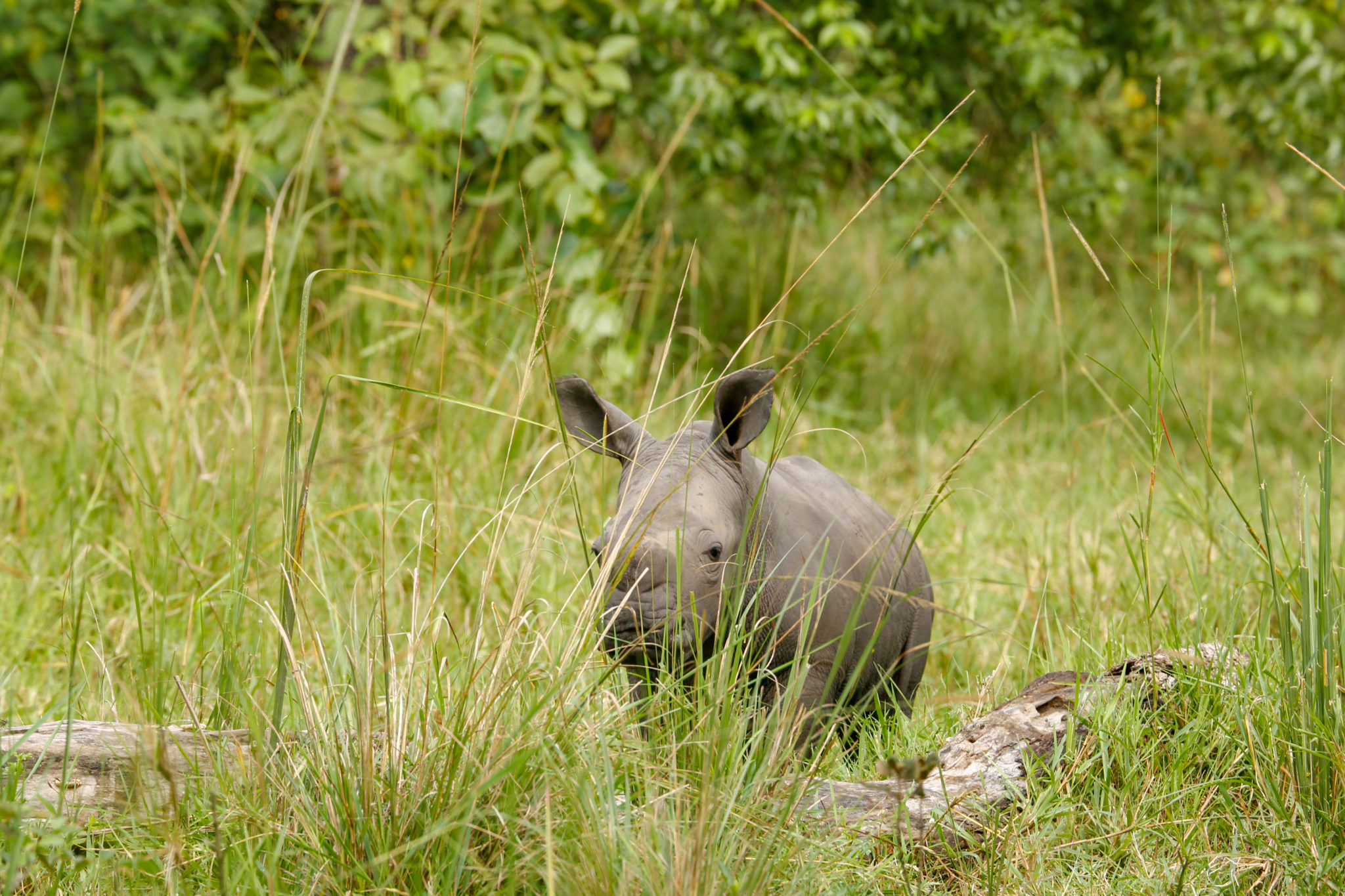 Top Things To Do in Uganda - Rhino Trekking at Ziwa Rhino Sanctuary