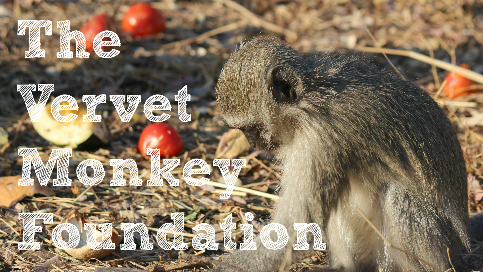 Vervet Monkey Foundation South Africa Film