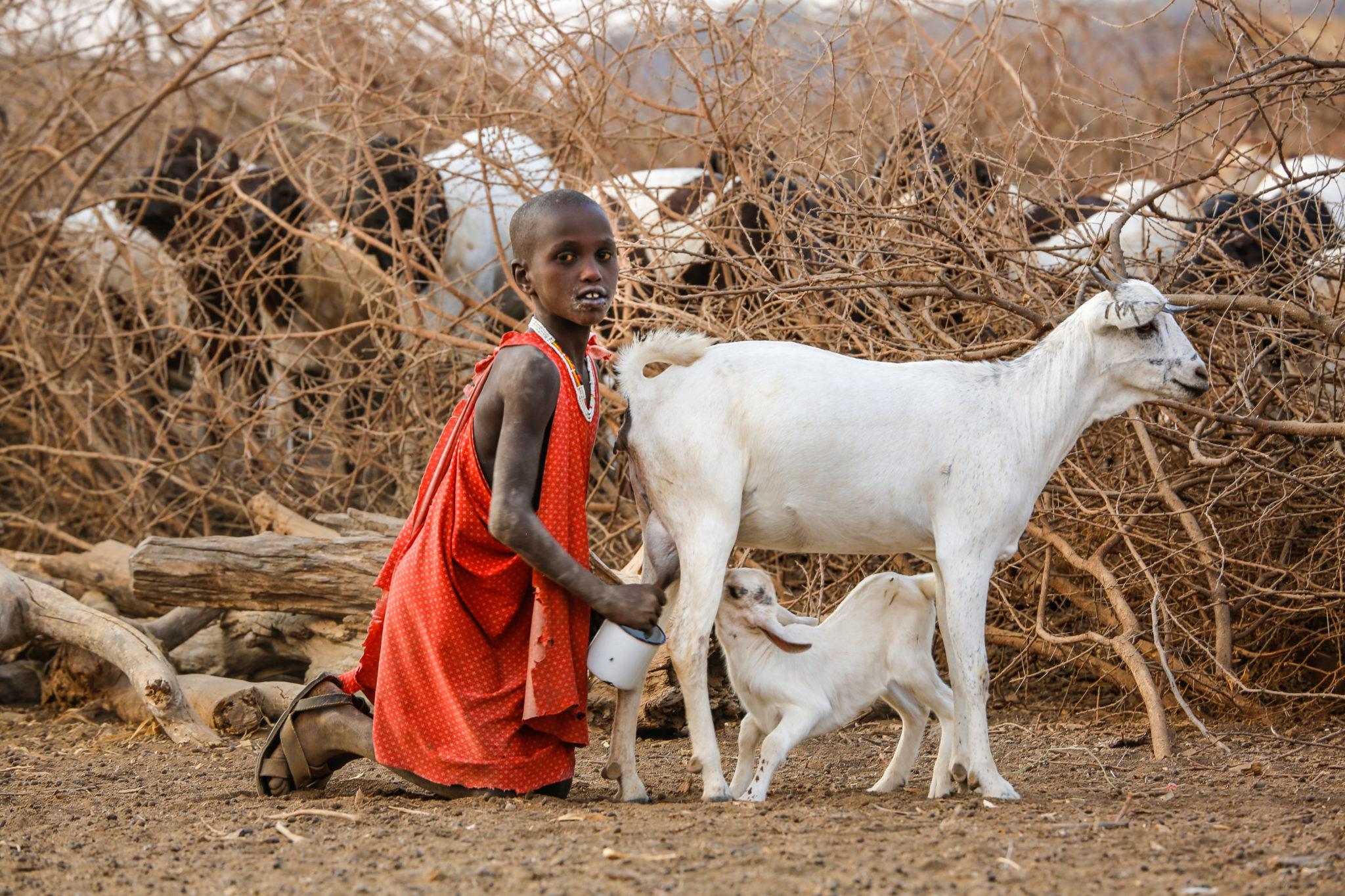 Young Maasai Boy Milking Goat - Mar Gone Wild