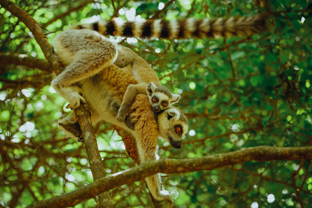 Mom and baby lemur at Monkeyland - South Africa Garden Route