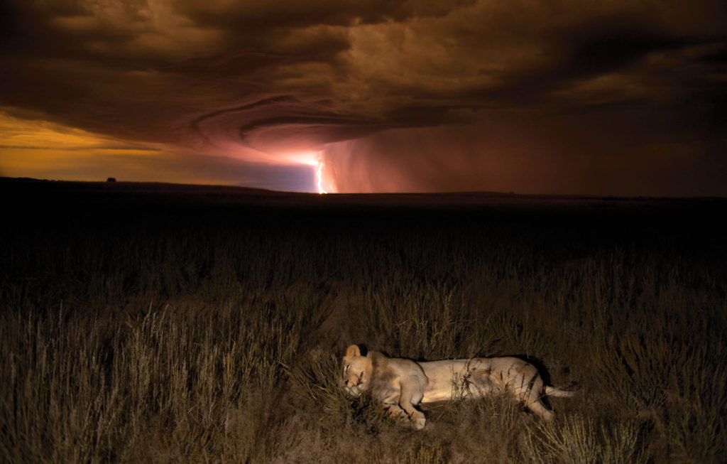 Lion photo by Hannes Lochner for Remembering Lions charity book for conservation. | Mar Gone Wild